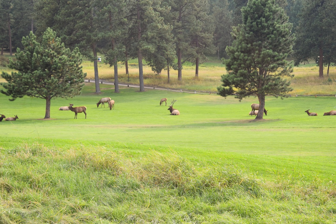 Elk on Evergreen, Colorado golf course